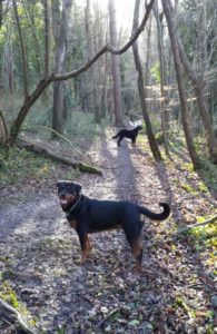 Dogs out for a walk in the Salisbury countryside